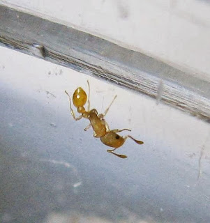 A Cardiocondyla sp. ant worker
