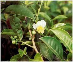 Gambar tumbuhan benalu teh