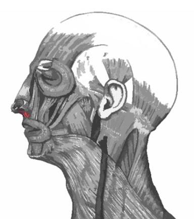 Imagen remarcada del músculo depresor del septo nasal