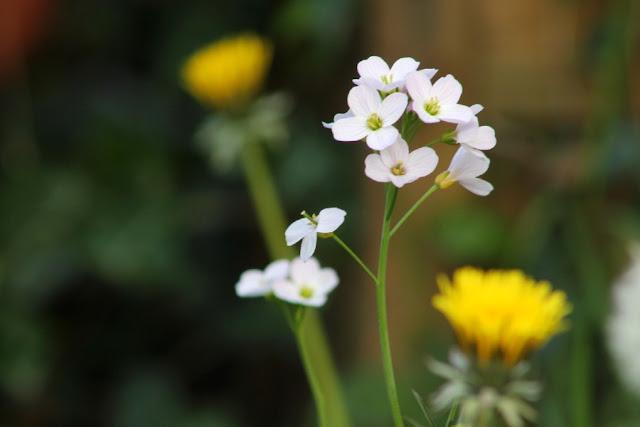 Cuckoo Flower in garden