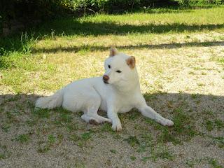 日陰で番犬中の白柴チロ