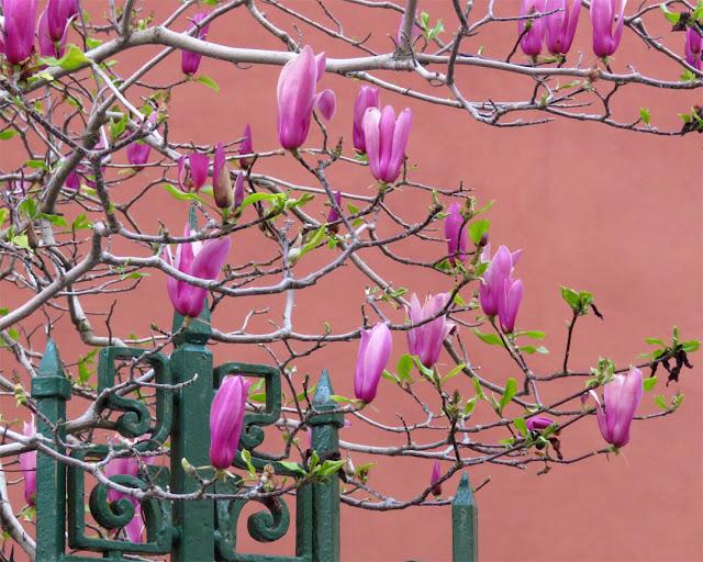 Magnolia liliiflora, Via Oscar Ghiglia, Livorno