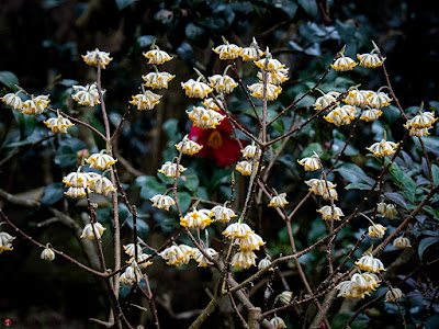 Mitsumata (Edgeworthia chrysantha) flowers: Engaku-ji