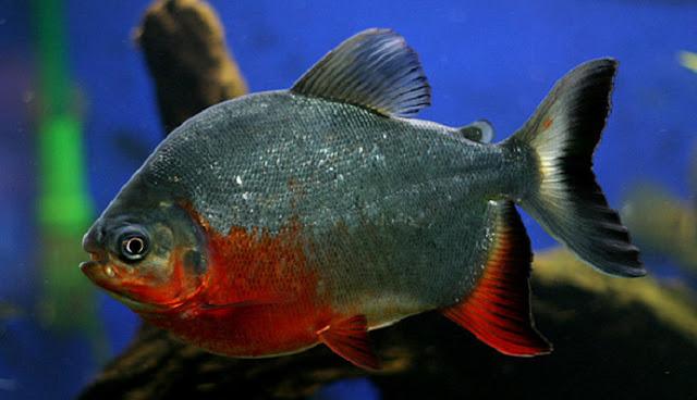 Ciri Ciri Ikan Bawal