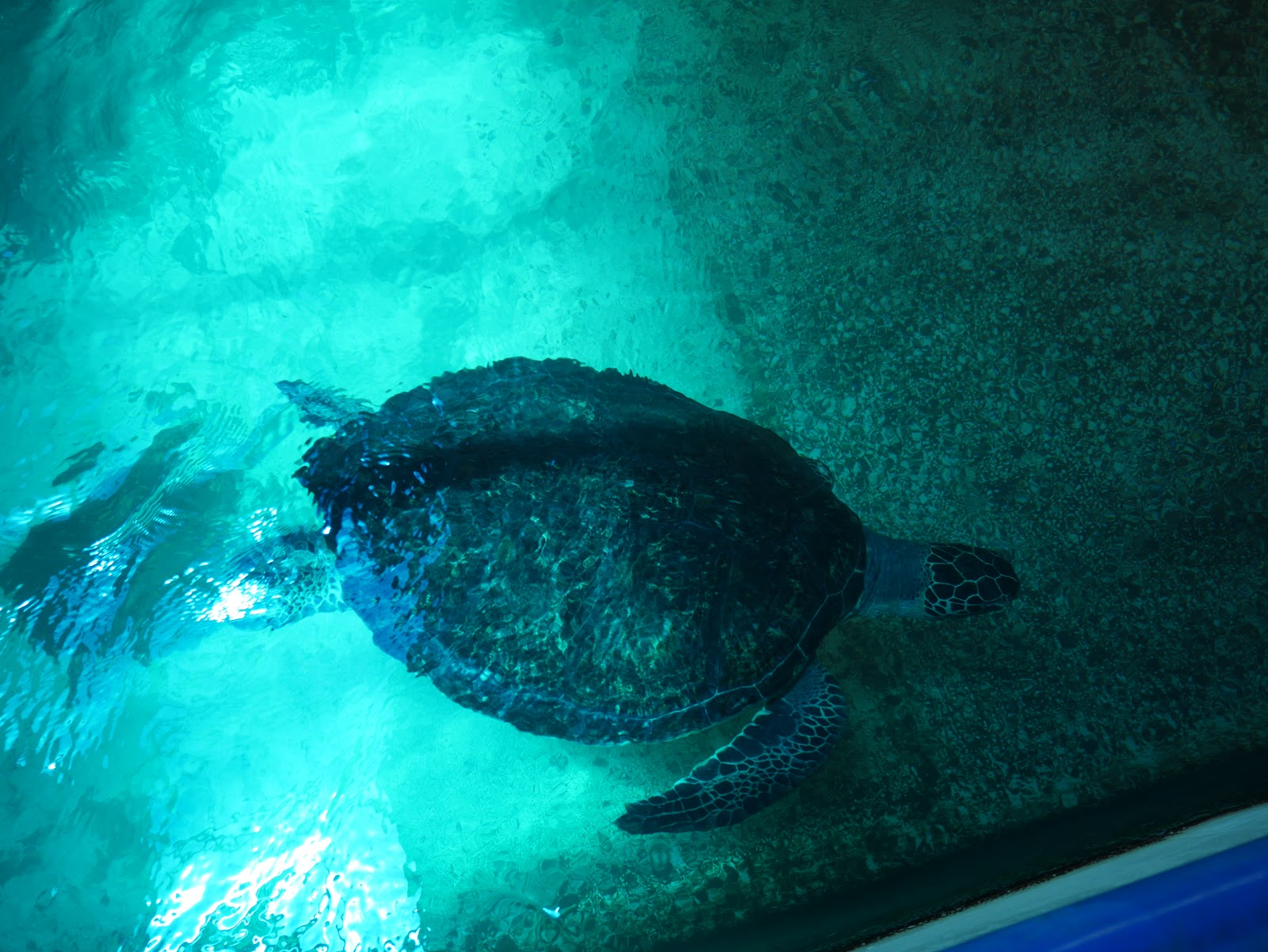 a sea turtle at the National Oceonographic Museum of Vietnam in Nha Trang