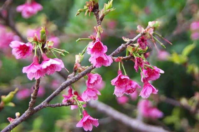 flowers, Sakura, Okinawa