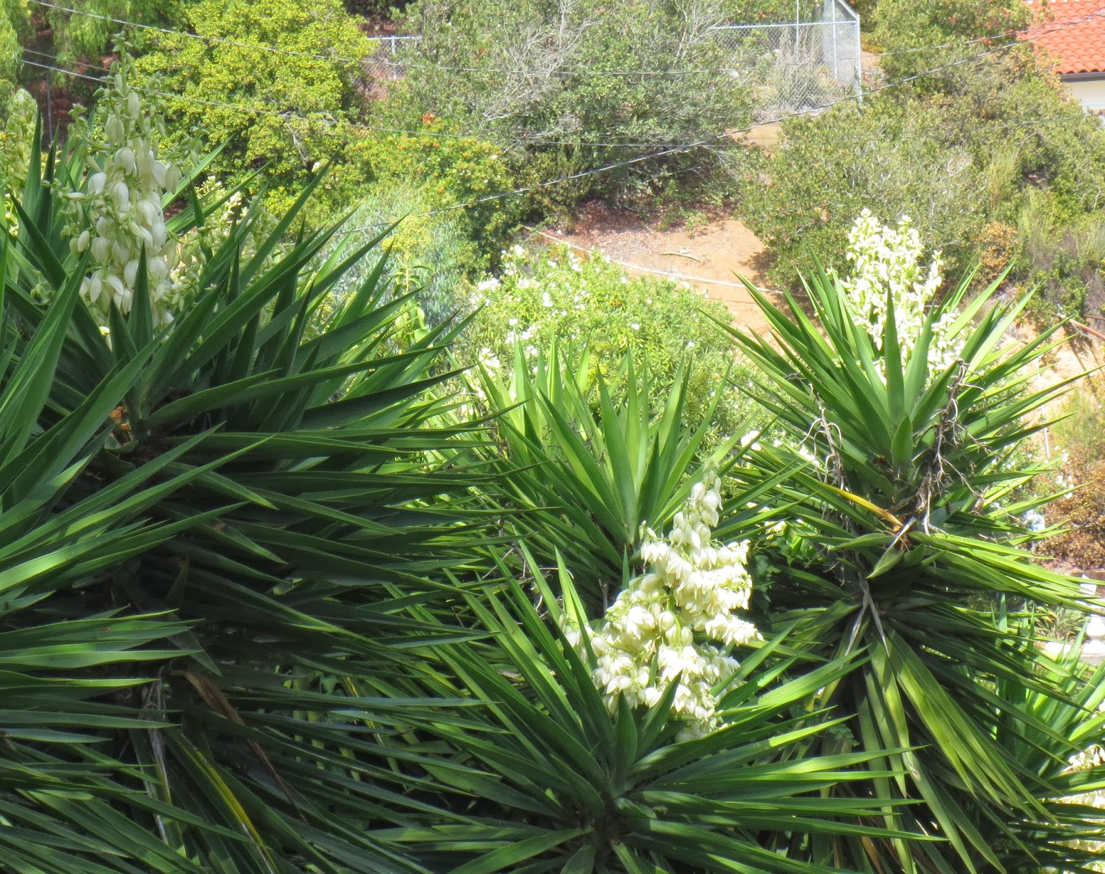 Yucca Elephantipes Late To The Garden Party My Favorite Plant This Week