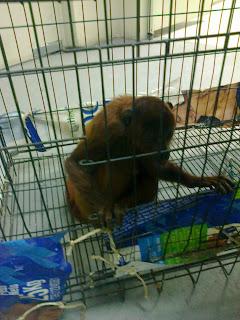 Mono aullador rojo con diarrea