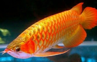 ikan arwana cross back golden