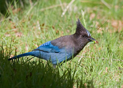 Photo of Steller's Jay on lawn