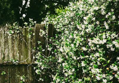 arbuste jasmin étoilé