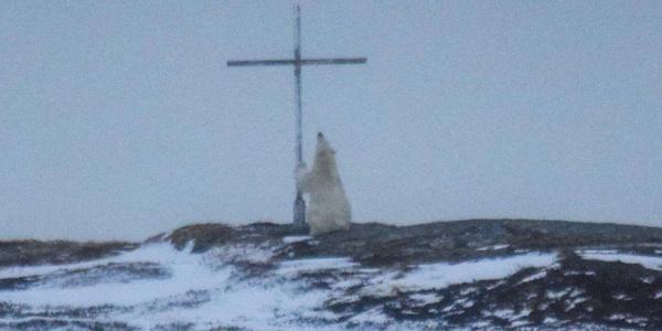Οιωνός; Μυστήριο με πολική αρκούδα που «προσεύχεται» σε σταυρό | Εικόνες
