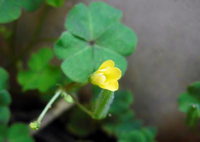 Bunga Semanggi Kuning