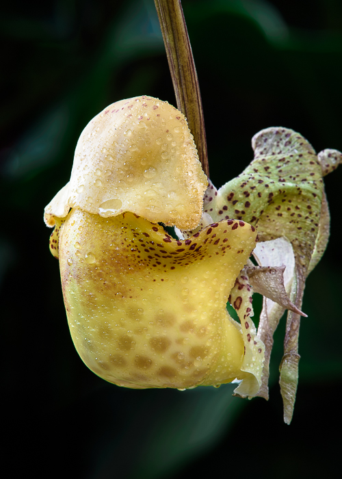 Another Fantastic Bucket Orchid