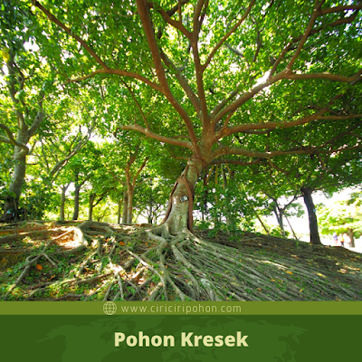 Pohon Kresek