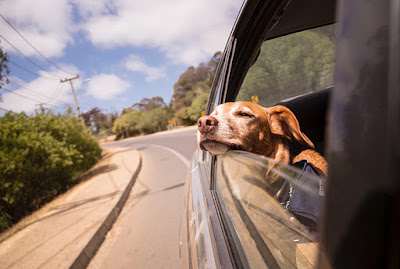 A brown and white dog rests his chin on the window of a car