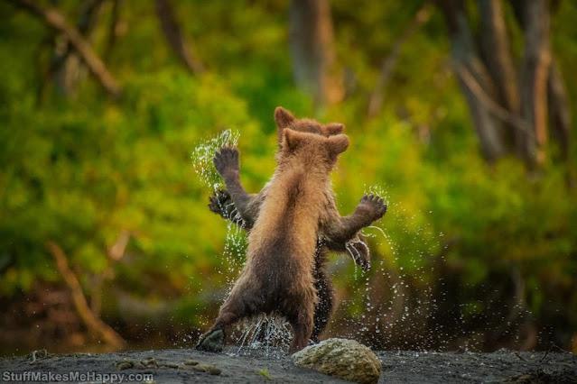 Bear dances