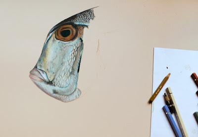 Début du dessin d'un poisson des côtes mexicaines. Le Pacific Porgy.