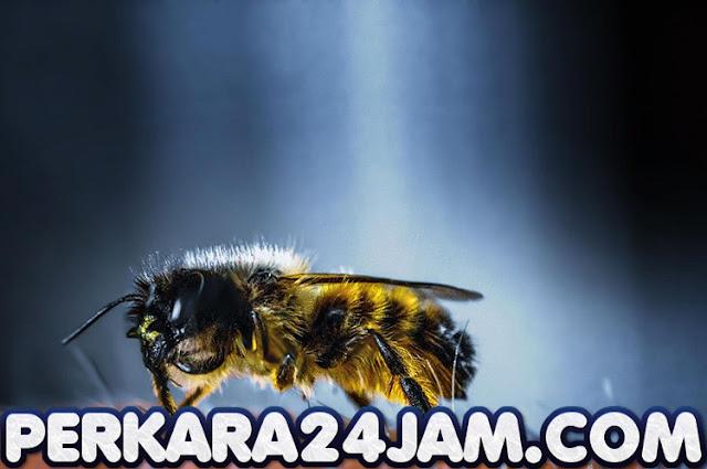 Ternyata Racun Lebah Madu Dapat Menghancurkan Sel Kanker Payudara