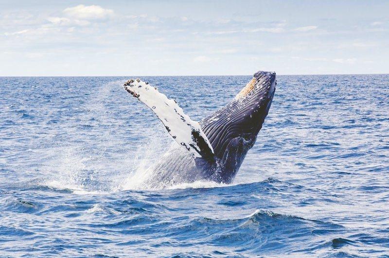 baleia-de-bossa