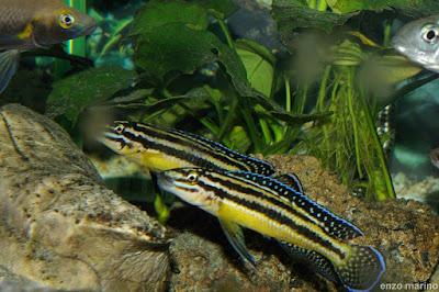 Ciclido Julidochromis Regani