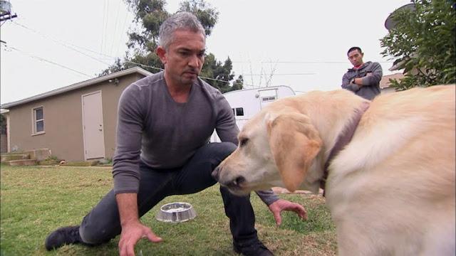 Increíble: César Millán investigado por Crueldad Animal