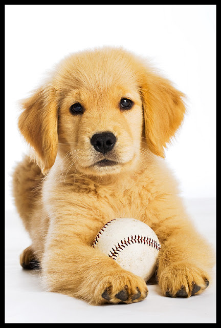Adorable Golden Retriever Puppy With Basebal