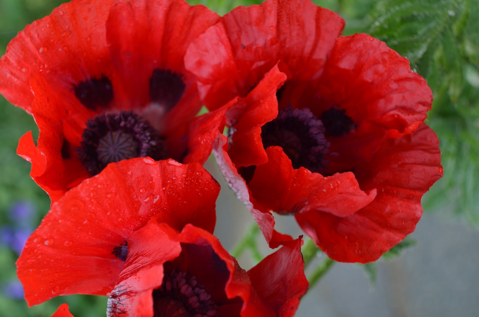 How To Grow The Oriental Poppy Papaver Orientale The Garden Of Eaden