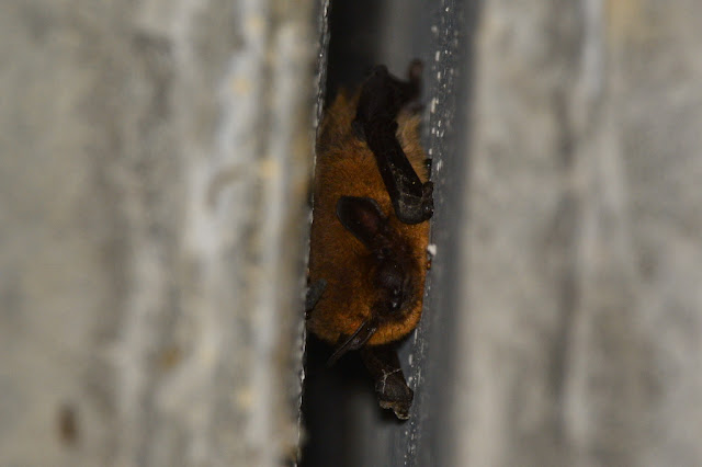 Pipistrellus sp