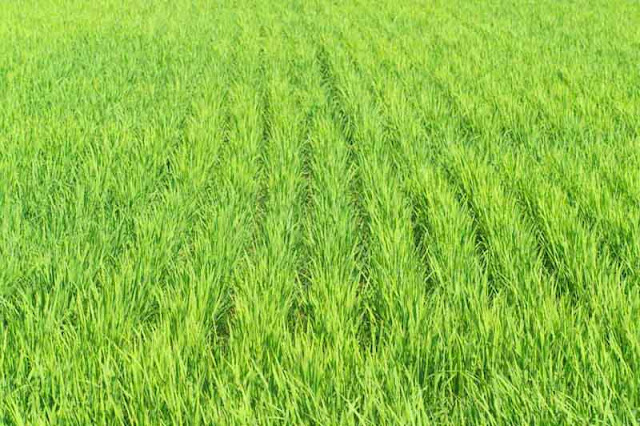 rice, paddy, plants, Kin Town, Okinawa