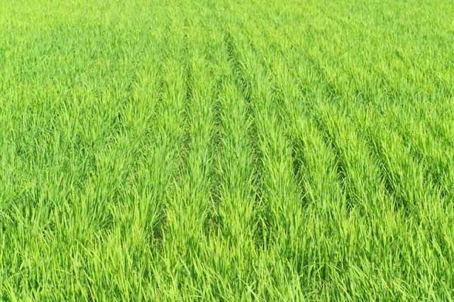 rice, paddy, plants, Kin Town, Okinawa
