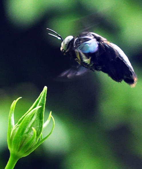Obssession of Carpenter Bees