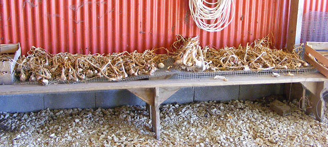 Garlic drying. Photo by Loire Valley Time Travel.