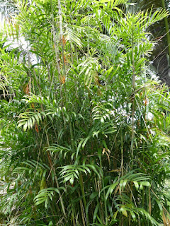 Chamaedorea seifrizii - Chamaedorea de Seifriz - Chamédorée de Seifriz