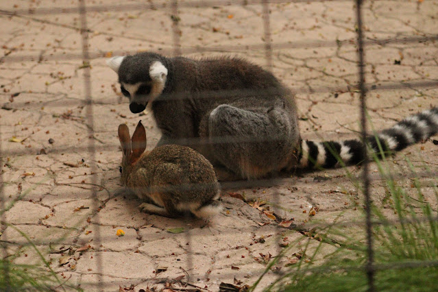 lemur and rabbit at safari park