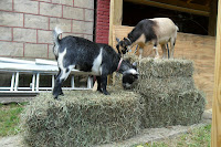 Two goats on top of bales of hay