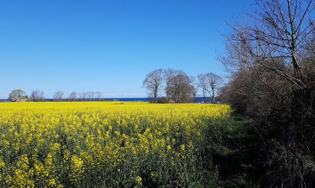 Küsten-Spaziergänge rund um Kiel, Teil 3: Raps, Steine und Meer bei Hohenfelde. Die Rapsblüte ist seit April im Gange und die gelben Felder im Norden leuchten.