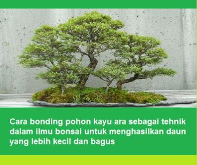 Cara bonding pohon kayu ara sebagai tehnik dalam ilmu bonsai untuk menghasilkan daun yang lebih kecil dan bagus