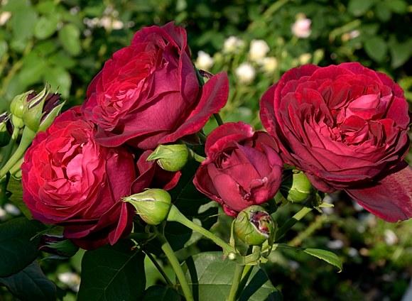 Astrid Grafin von Hardenberg  сорт розы фото купить саженцы Минск питомник