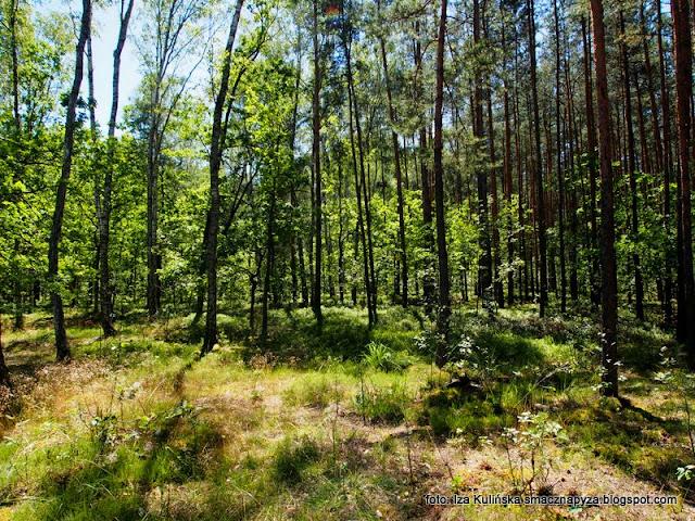 las w wawrze , lasy mazowieckie , grzybobranie , wycieczka , na grzyby , na jagody , co słychać w lesie , las lipcowy , prosto z lasu , wieści podmiejskie , grzyby , jagody