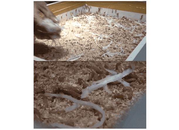 Media Pakan Ulat Hongkong (Mealworms) dengan Polar, Gamblong, Sayur dan Buah