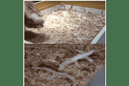 Media Pakan untuk Ulat Hongkong (Mealworms) dengan Pollard, Gamblong, Sayur dan Buah