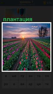 Ровными рядами плантация тюльпанов до горизонта
