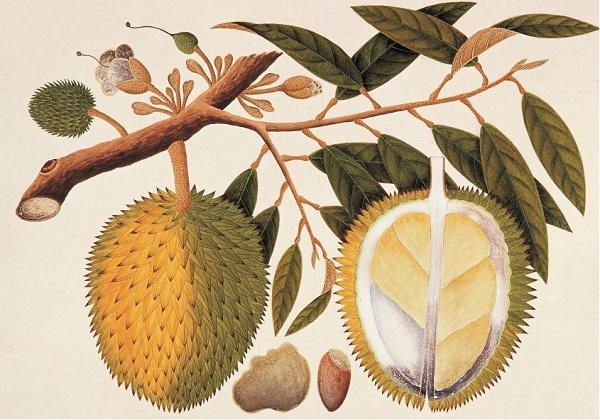 Sejarah Durian di Indonesia