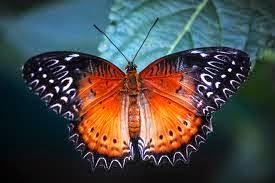 kupu-kupu red lacewing