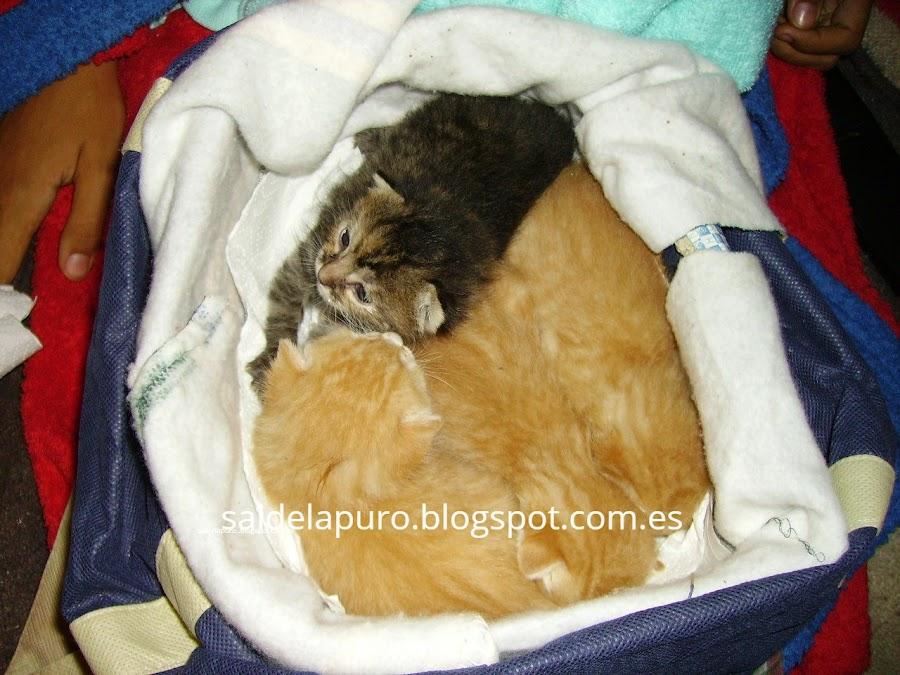 cuidar-gatos-recién-nacidos