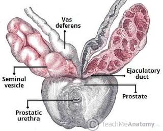 Ejaculatory duct
