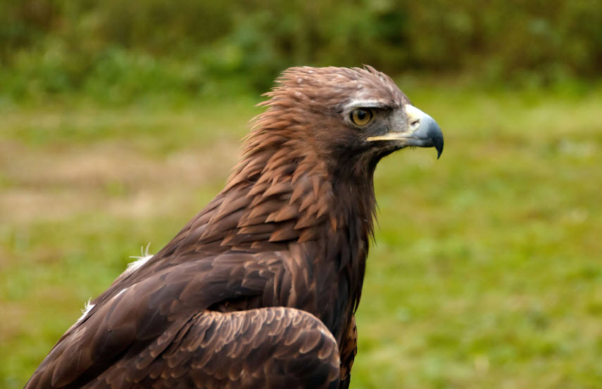 Animal You: Golden Eagle