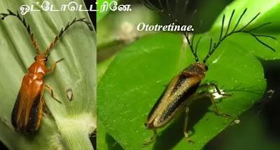 Ototretinae