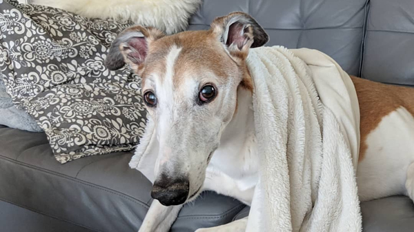 image of Dudley still with the blanket around his neck and still looking at me, but sitting slightly lower and closer to a lying-down position